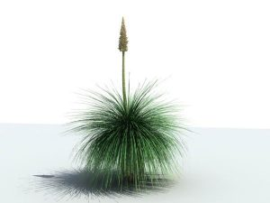Mexican-Grass-Tree
